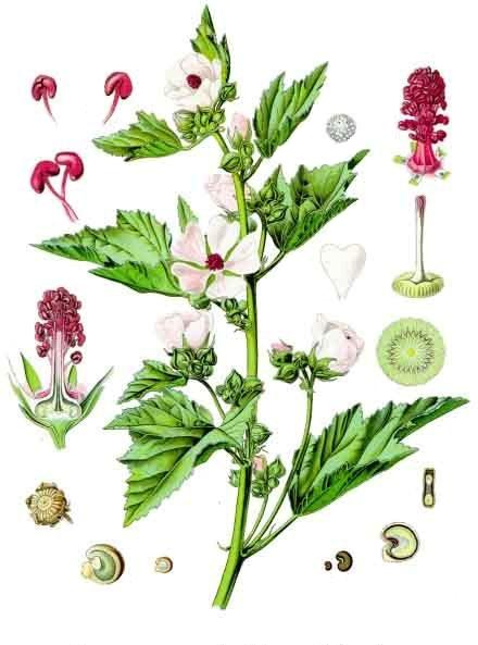 алтей лекарственный выращивание из семян