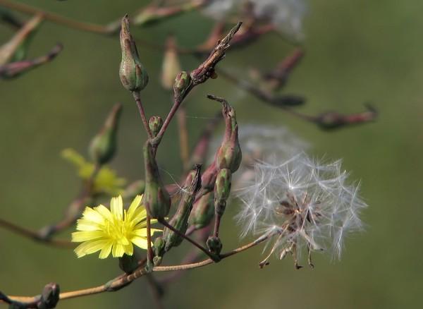 Родиола цветов 71