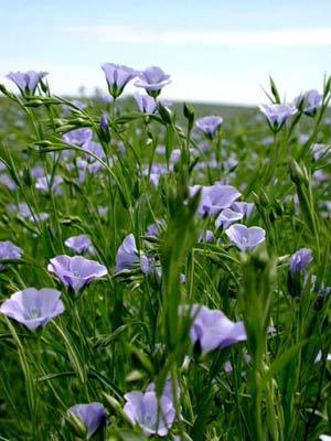 фото льна растения