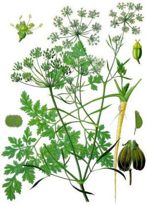 Лекарственные растения gt gt петрушка