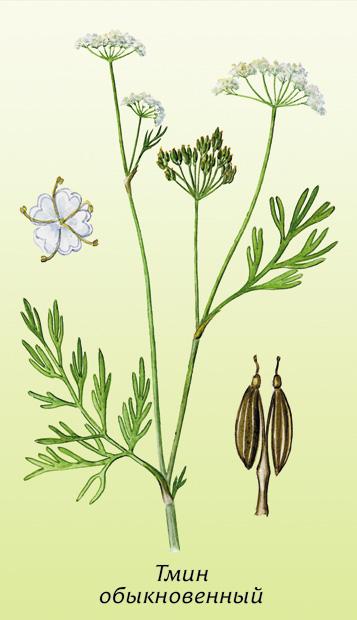 растение тмин фото