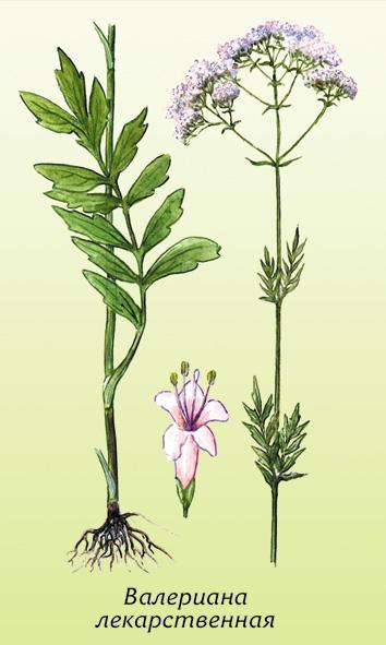 какая лекарственная трава от аллергии